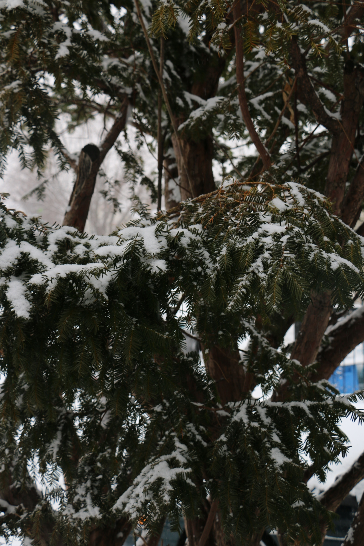 Snow Kissed EverGreen
