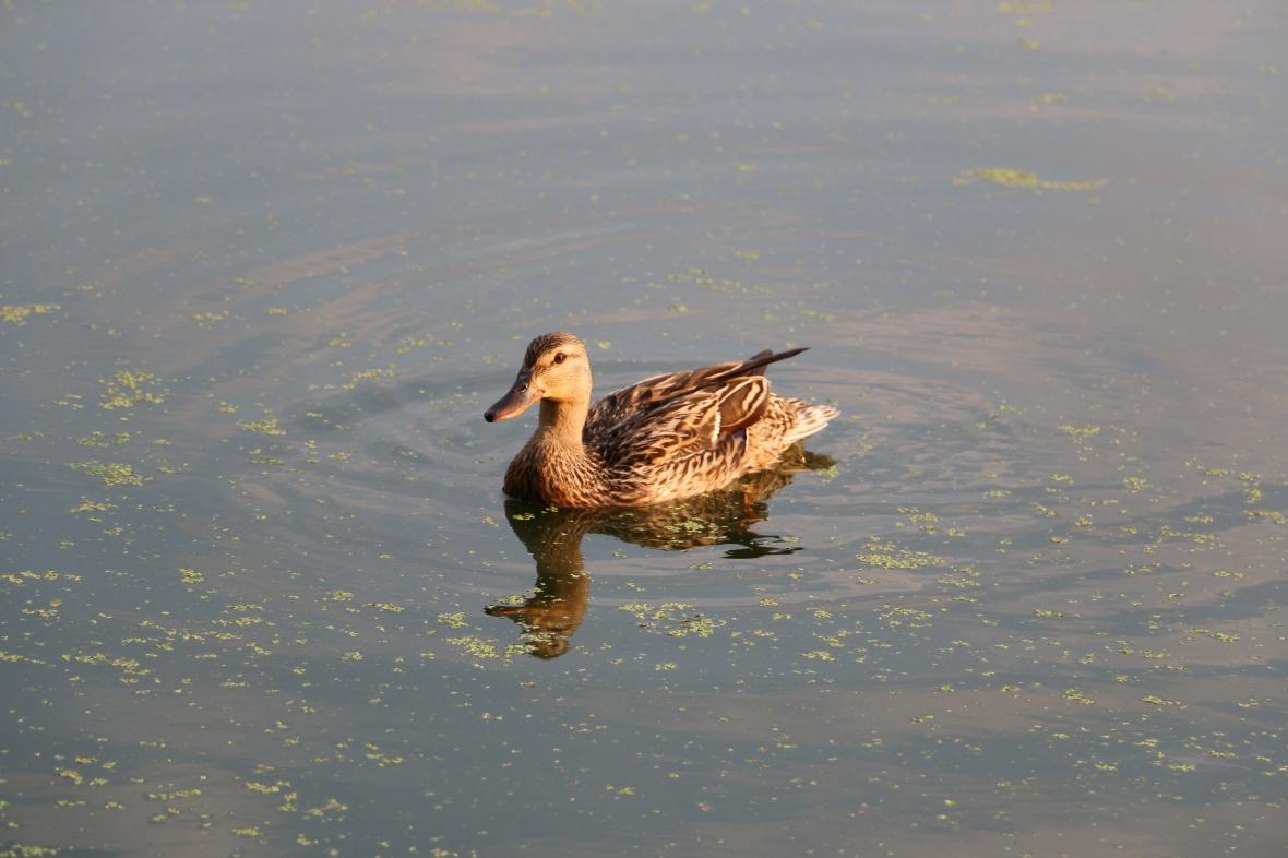 Duck Life II