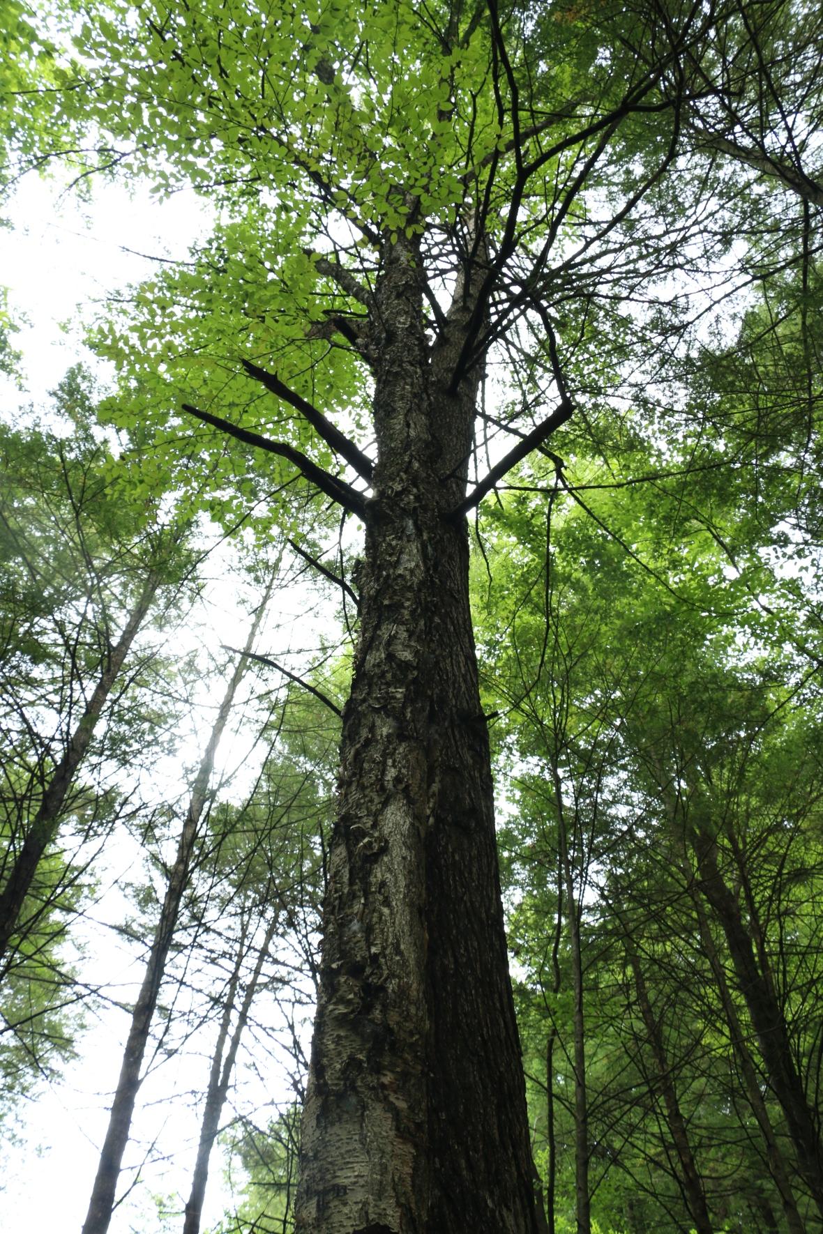 Large Tree Surround
