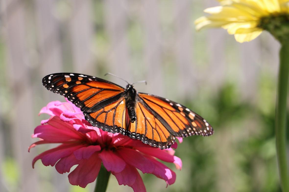 Monarch V
