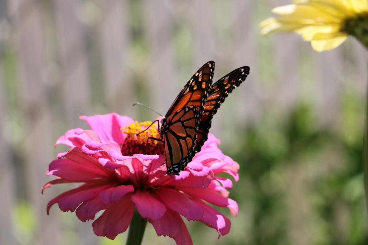 Monarch's Wings