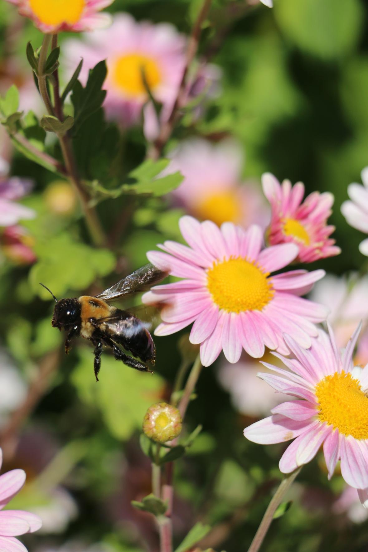 Bumble Bee Mid Flight