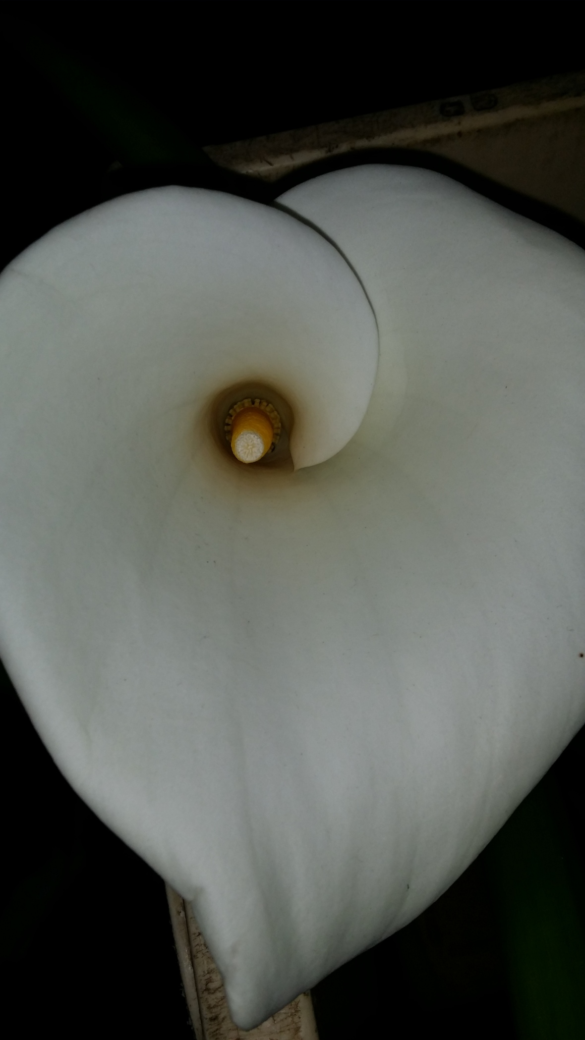 White Calla Lily II: From Above