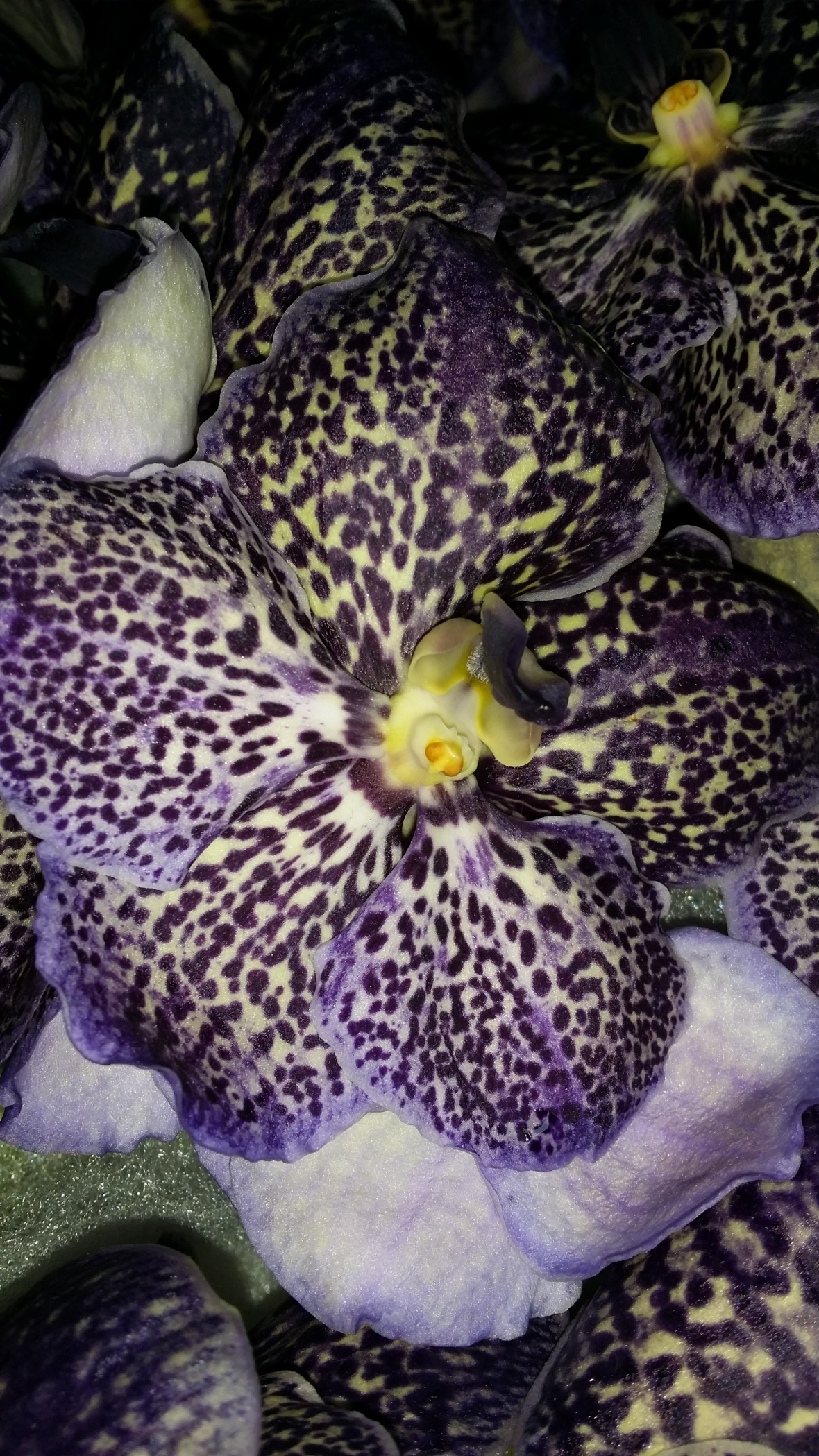 Purple Freckled Orchid