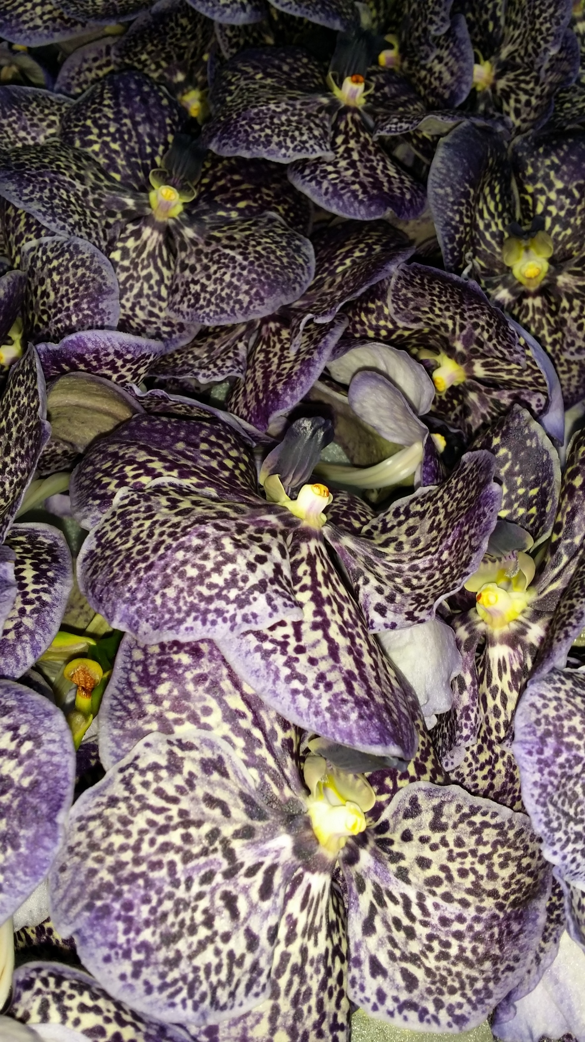 Sea of Purple Freckled Orchids
