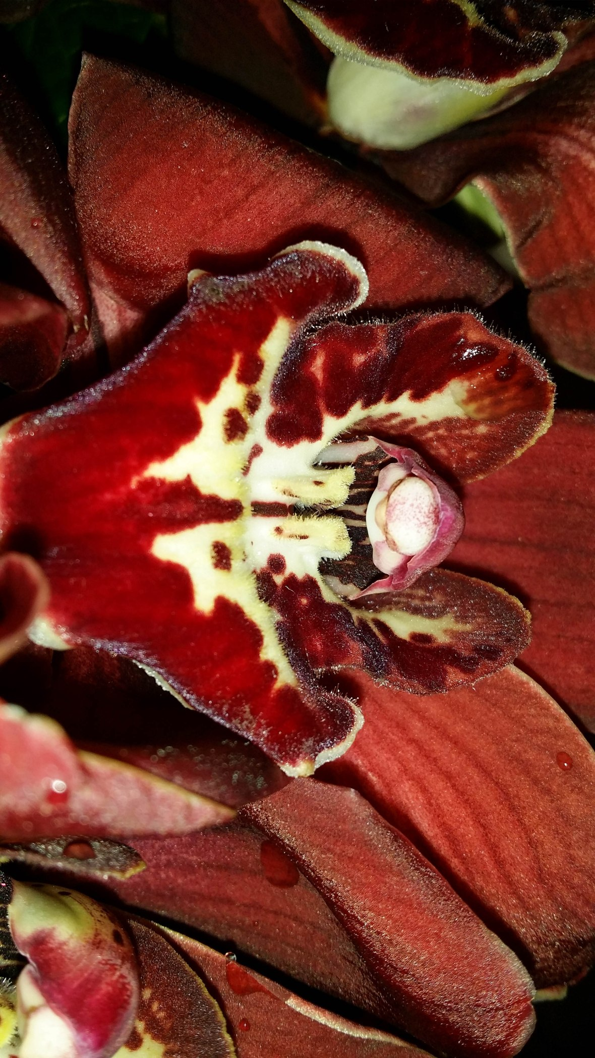 The Chocolate Orchid II