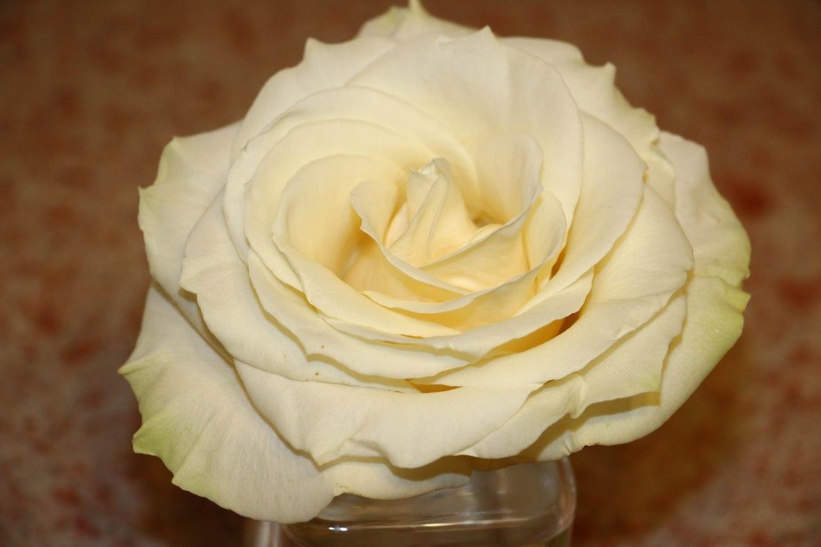 The Grand White Rose