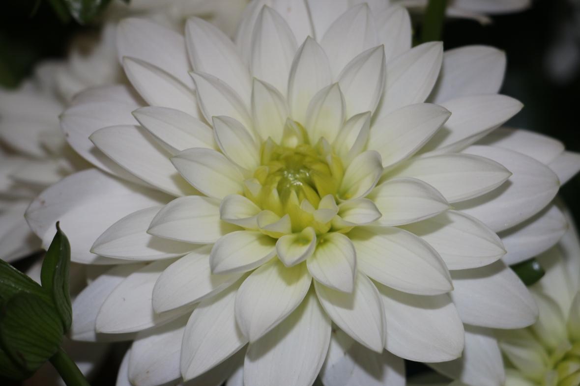 Holland White Dahlia