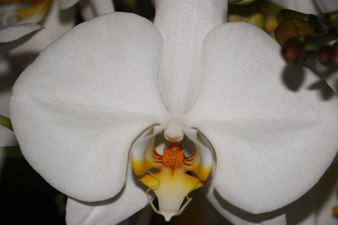 White Orchid Extreme Close Up