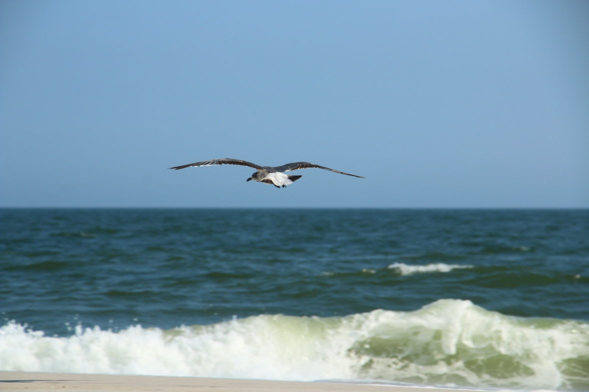 Horizontal Gull
