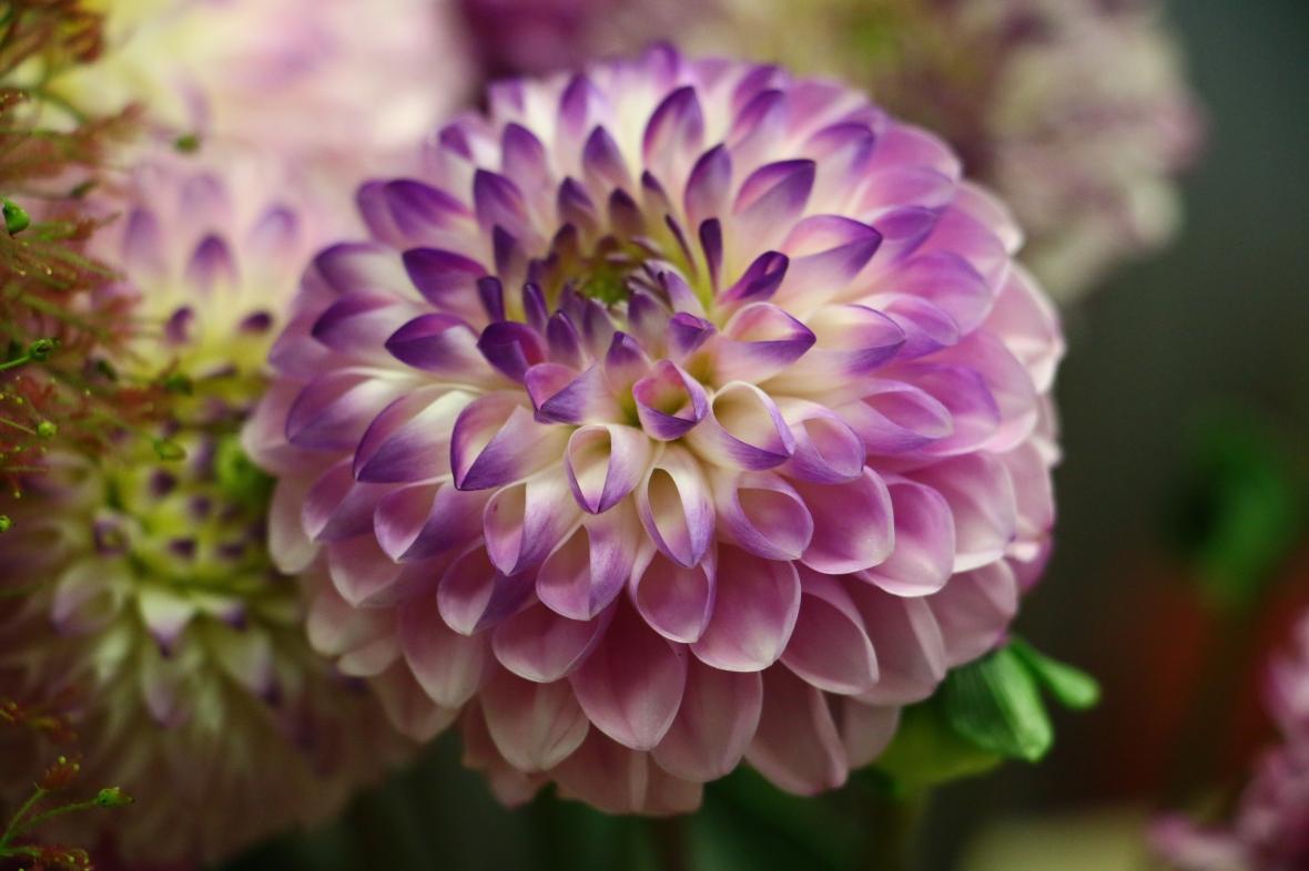 Purple & White Dahlia Tres