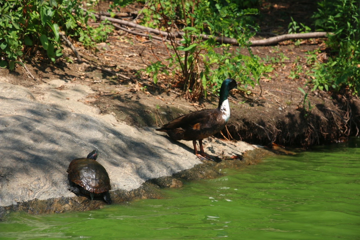 Turtle & Duck