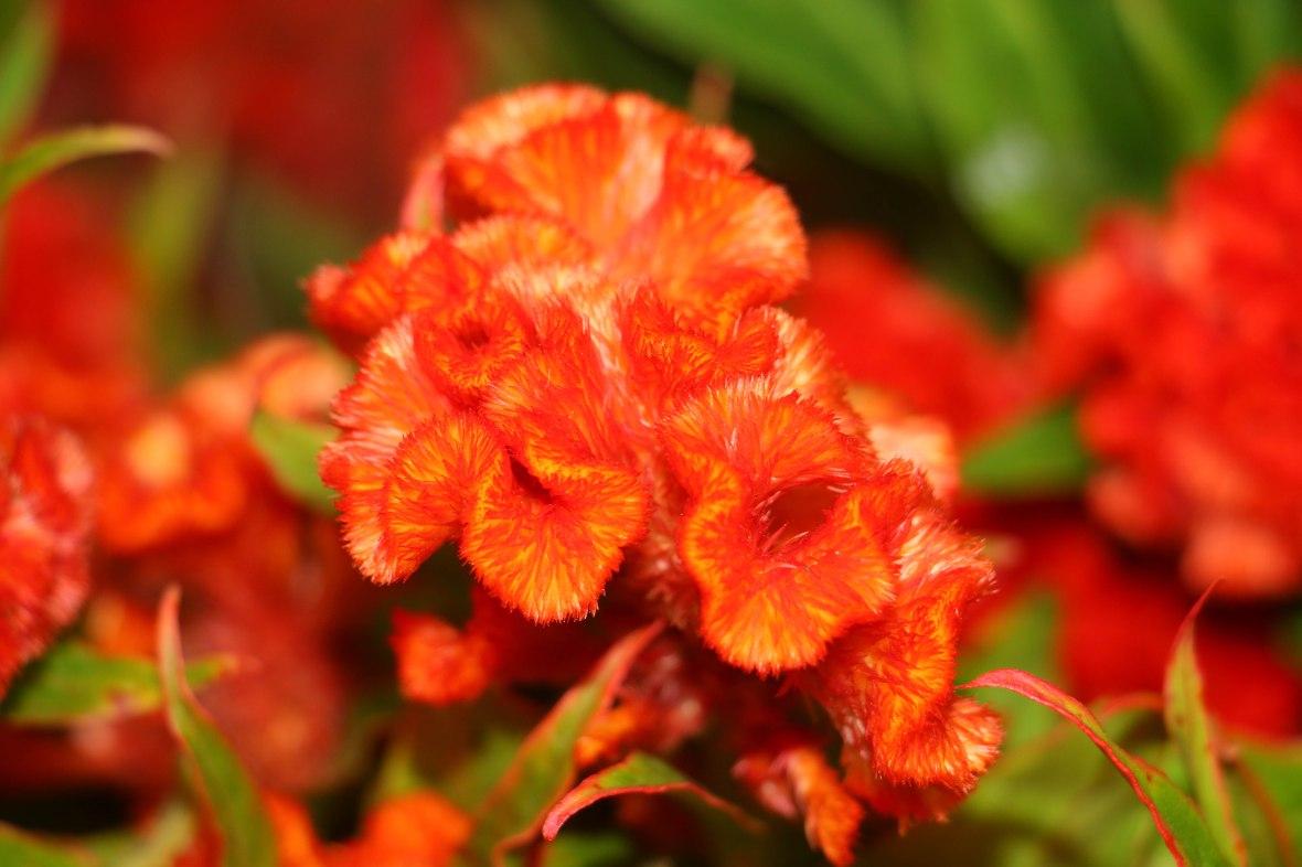 Orange Selosia