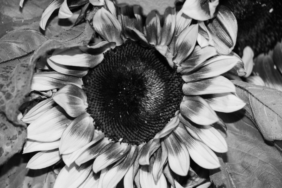 SunFlower Black & White