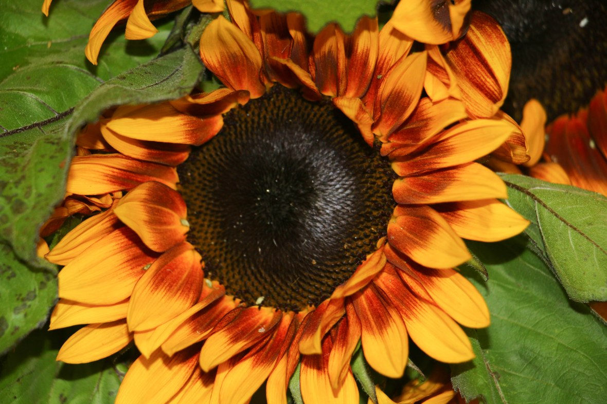 Living Color Sunflower