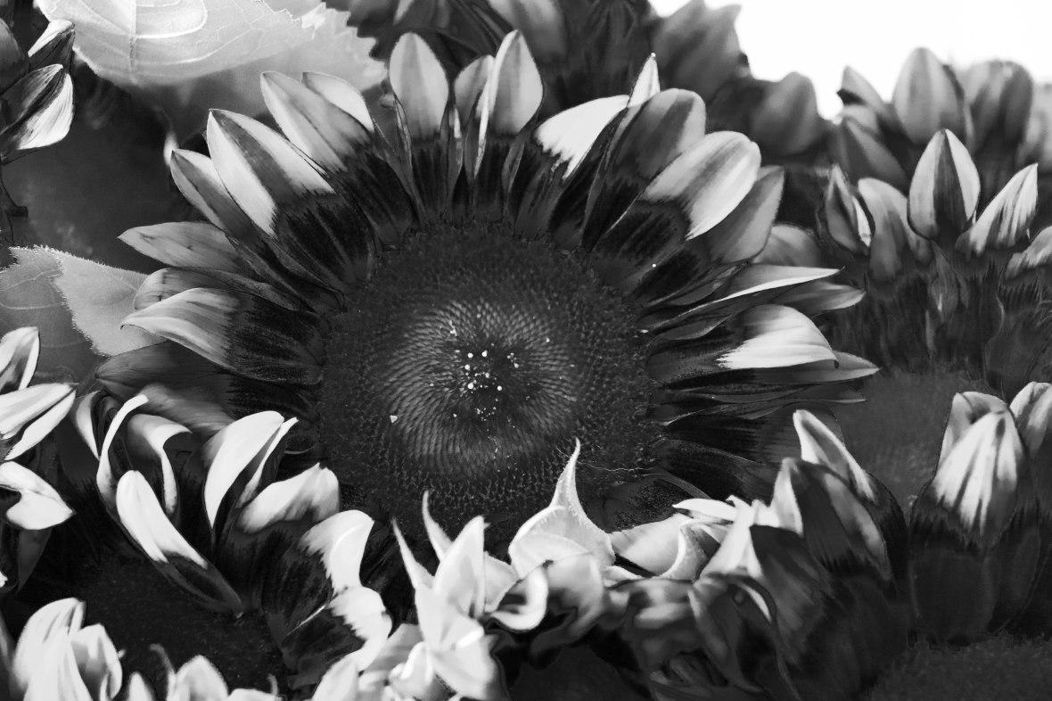 The Black & White Sunflower