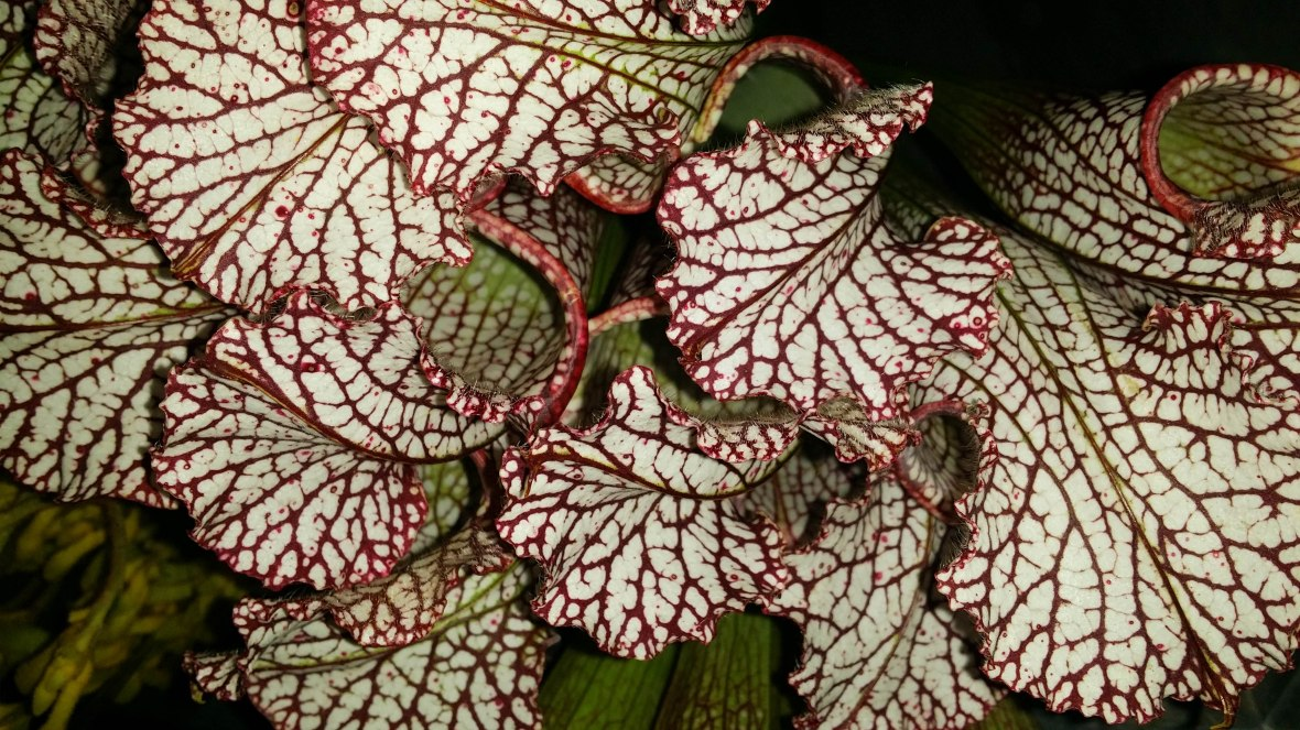 Red Veined Leaves