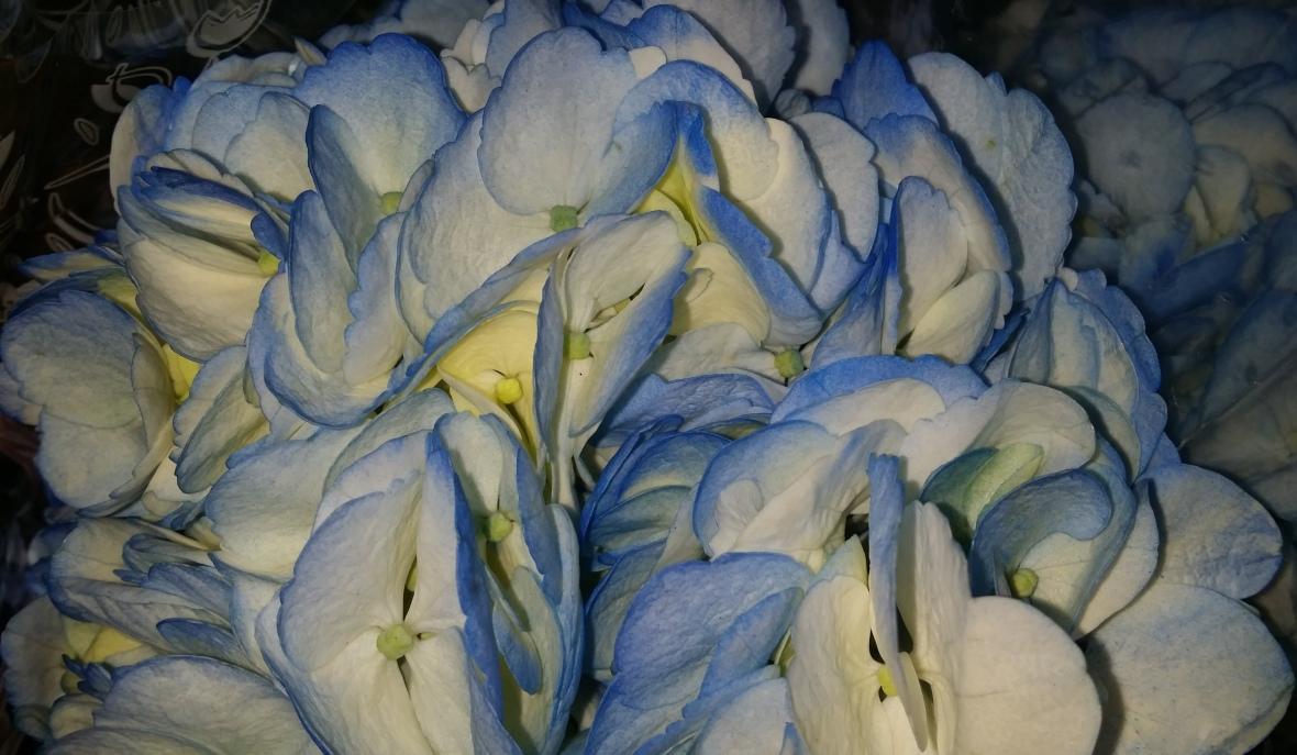 Blue & White Hydrangea