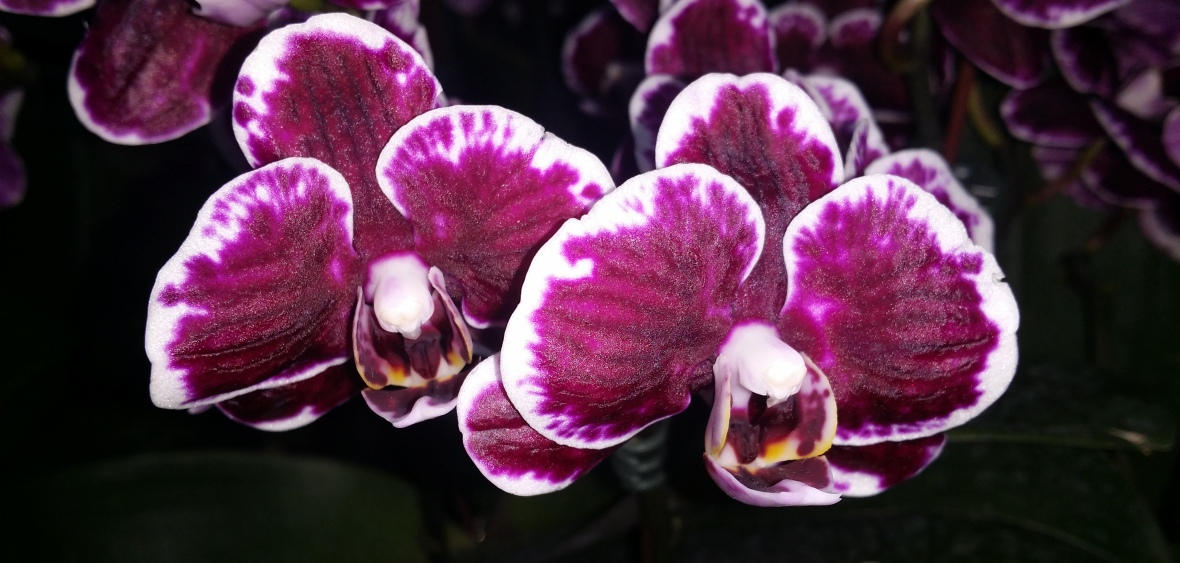 Twin Deep Purple & White tipped Phaelanopsis Orchids