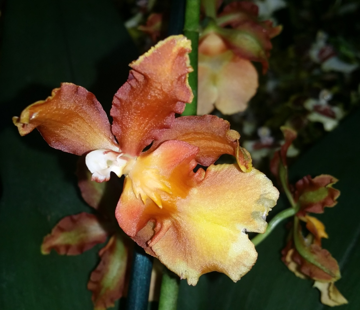 Golden Brown & Yellow Oncidium Orchid