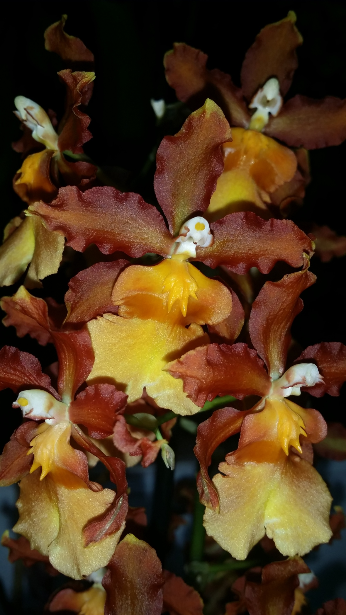 Golden Honey Oncidium III