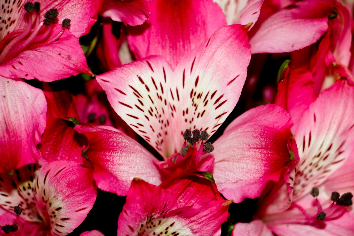 Hot Pink Alstroemeria Storm