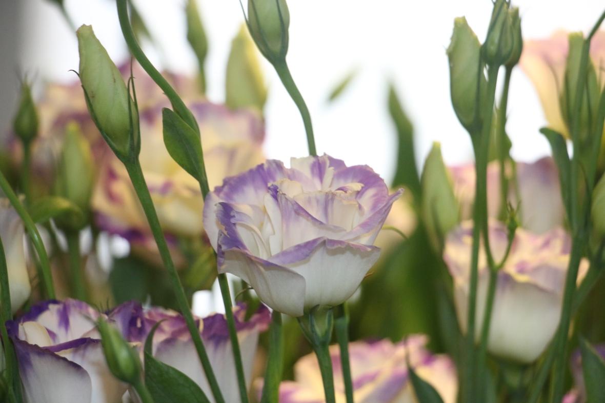 White & Purple Fringed Lisianthus