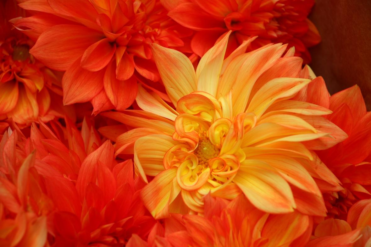Flaming Orange Dahlias II