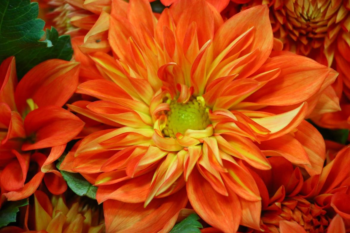 Flaming Orange Dahlia