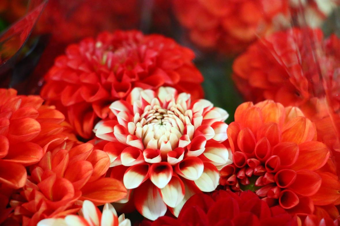 The Red & White Dahlia