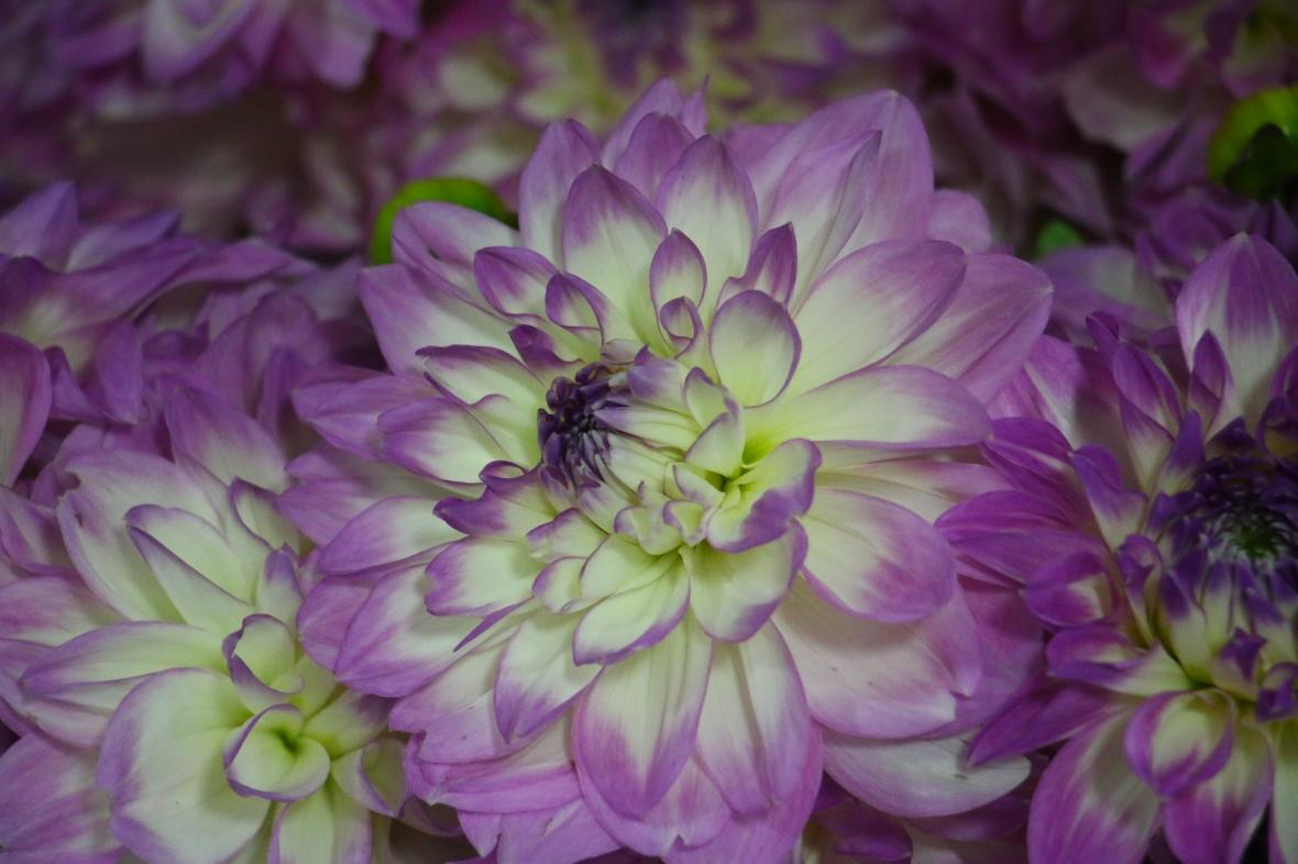 The Purple & White Dahlia III
