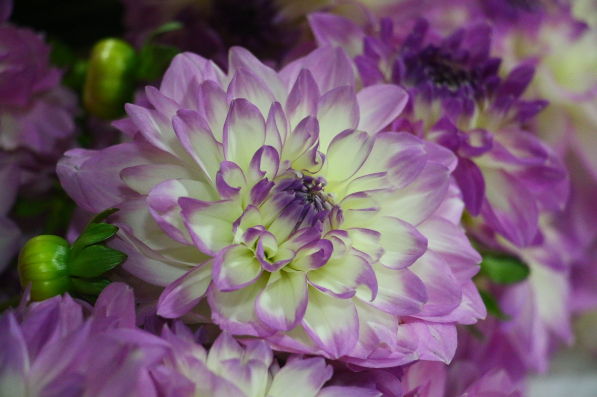 Purple & White Dahlia II