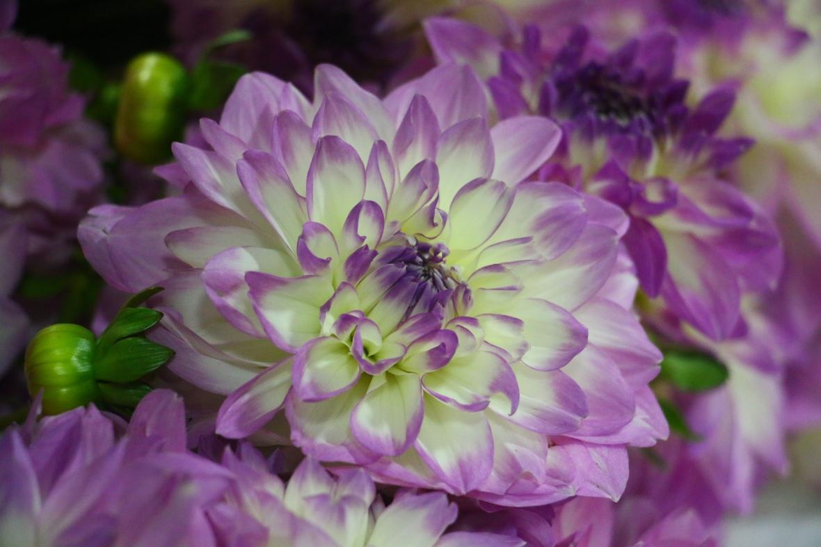 Purple & White Dahlia II