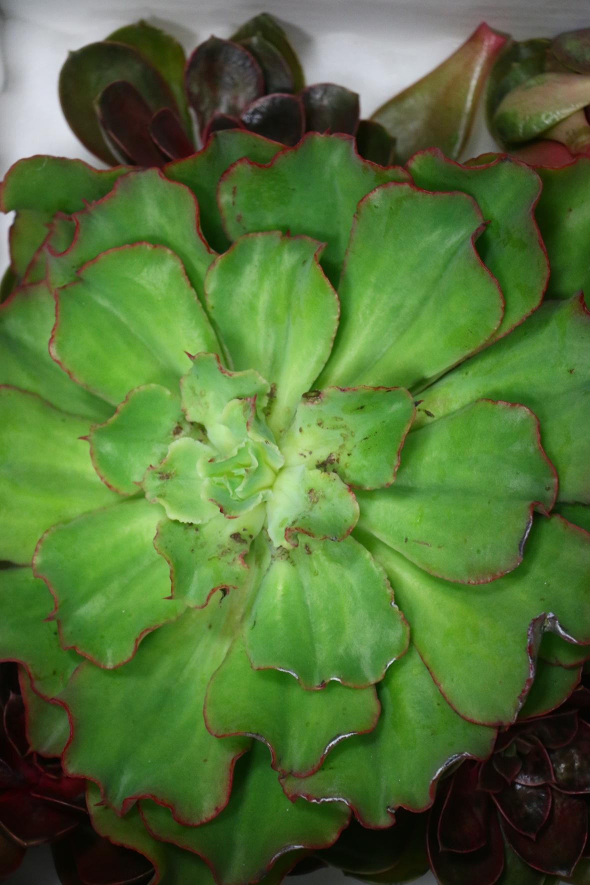Giant Succulent