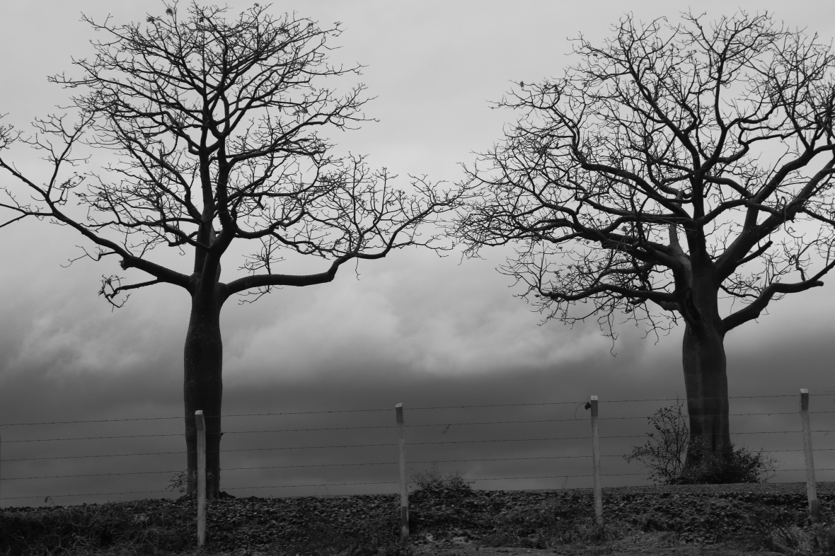 B + W The Trees