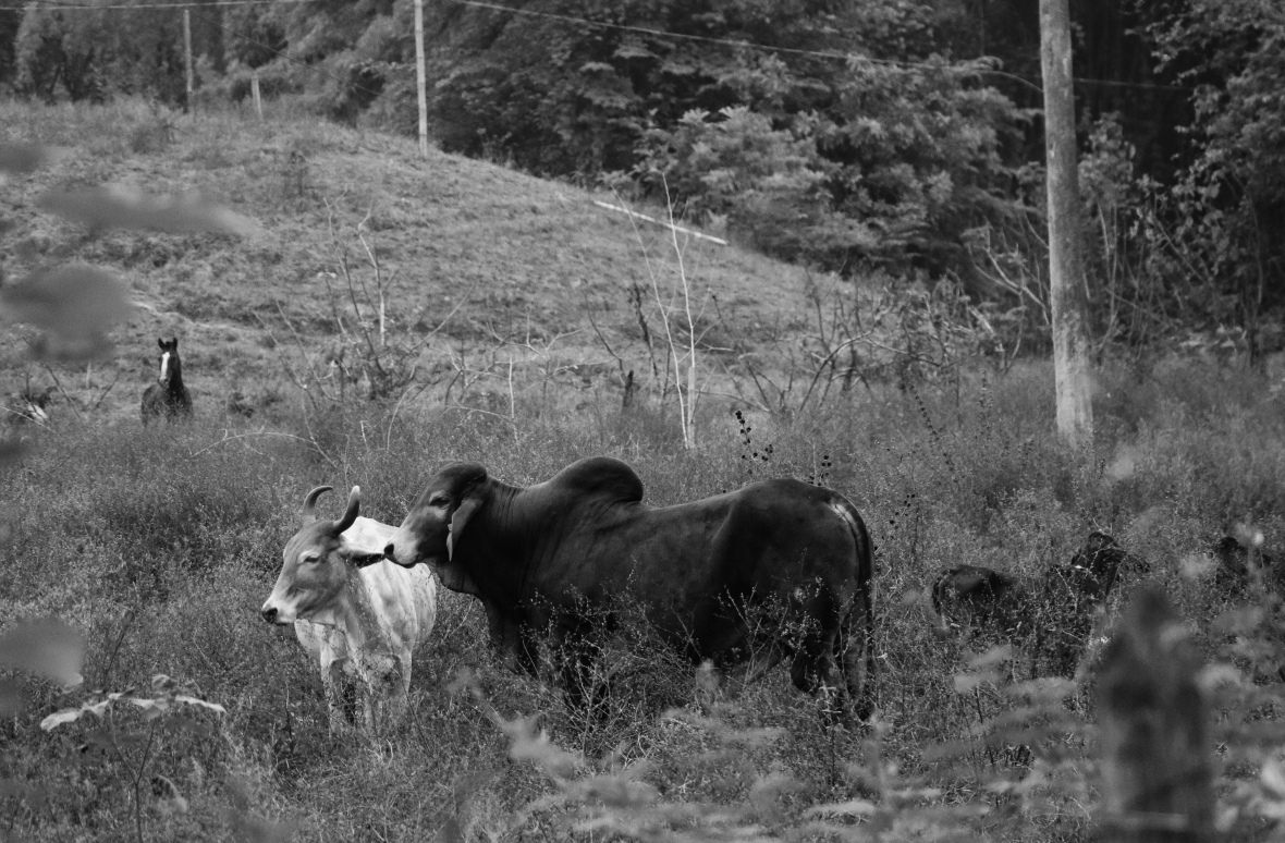 Las Vacas 2