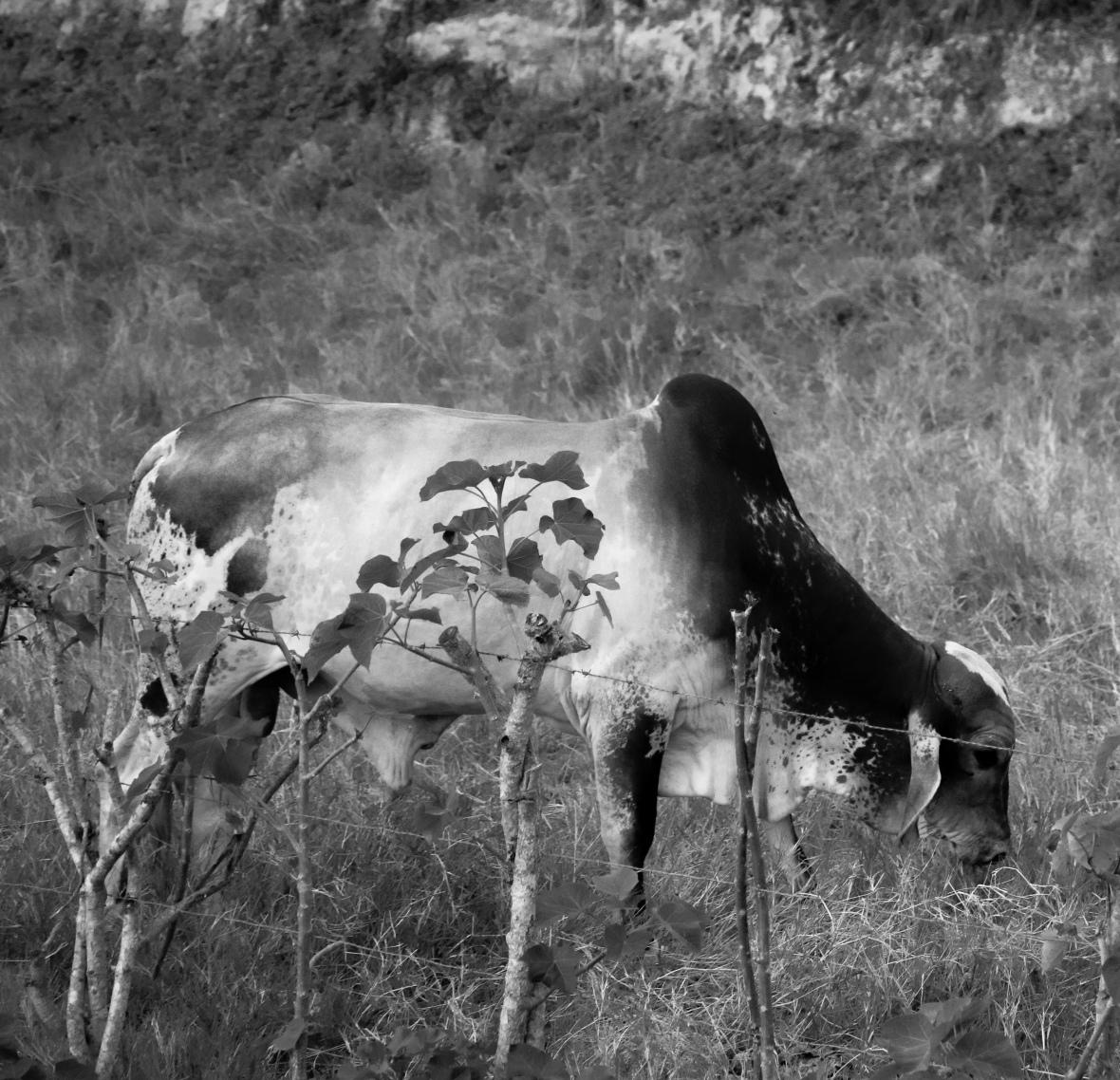 B+ W The Bull