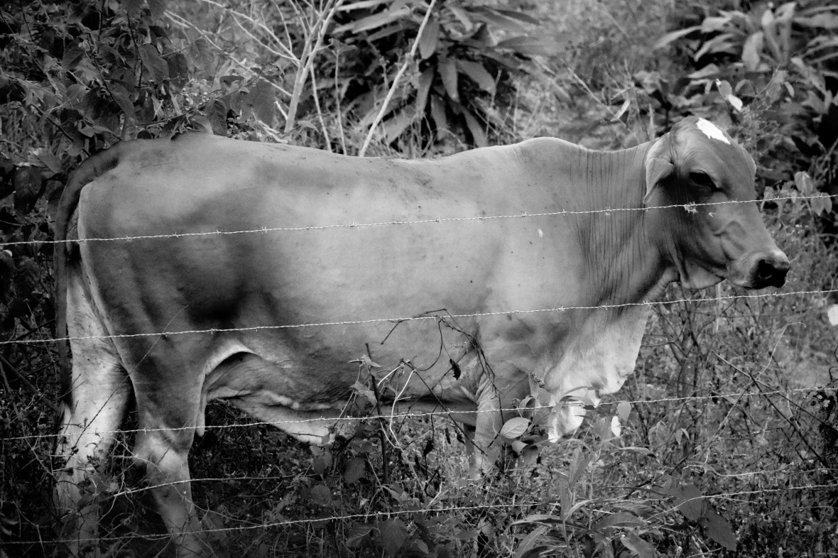 The Brown Bull