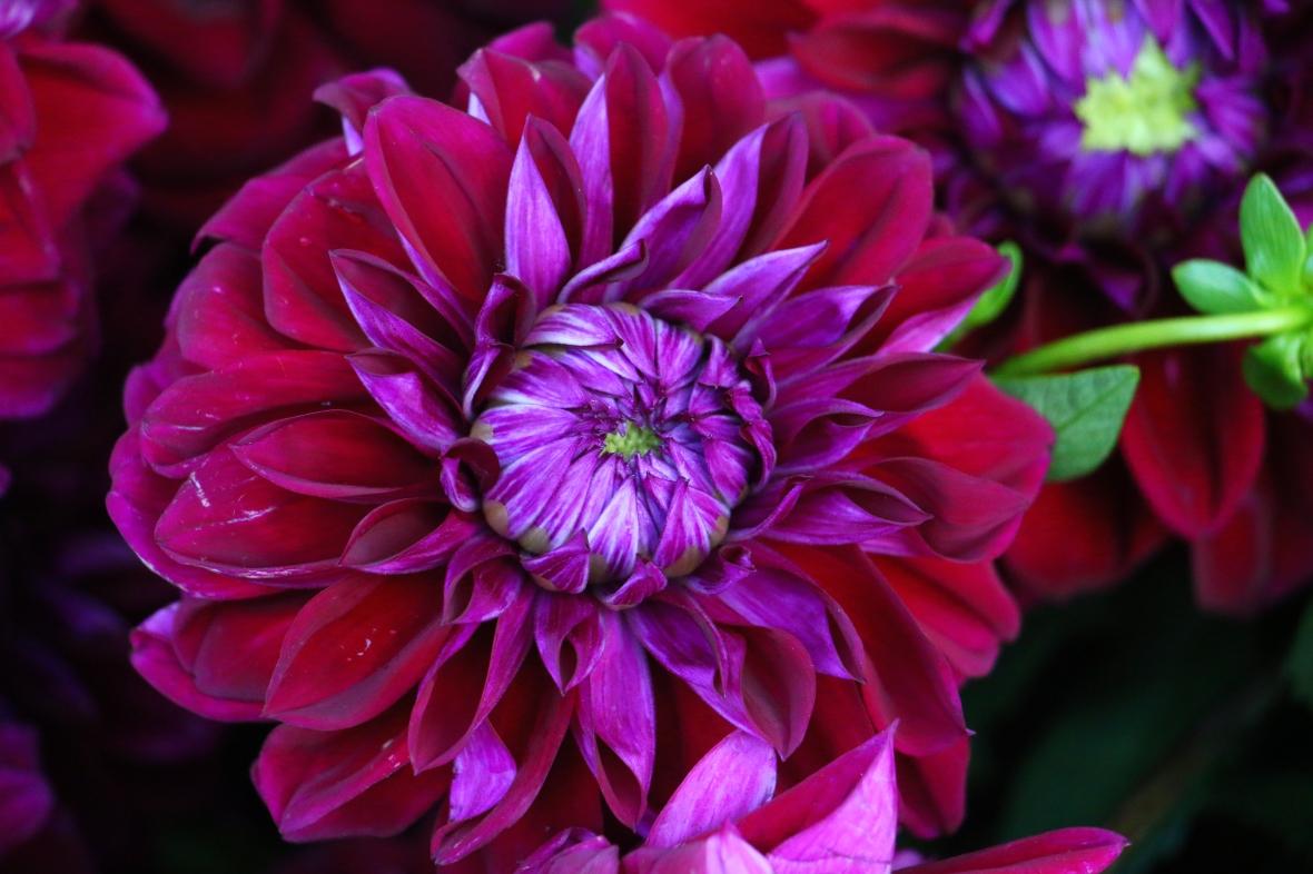High Purple Dahlia
