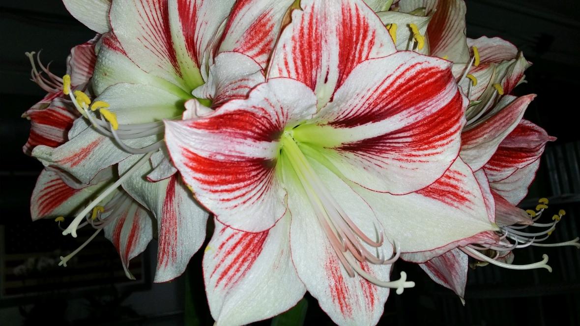 White & Red Amaryllis