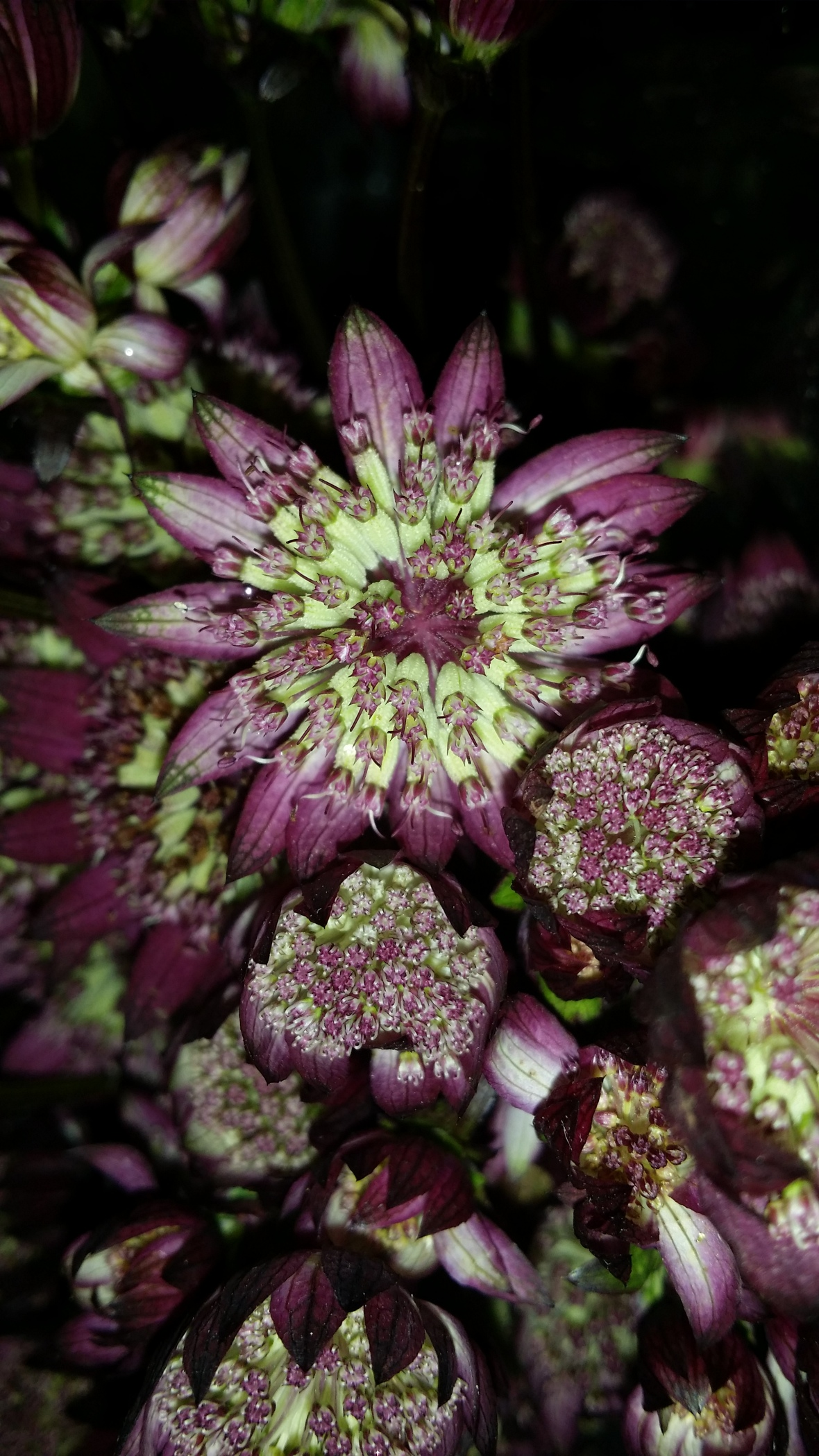 Purple & Green Astrantia Flowers