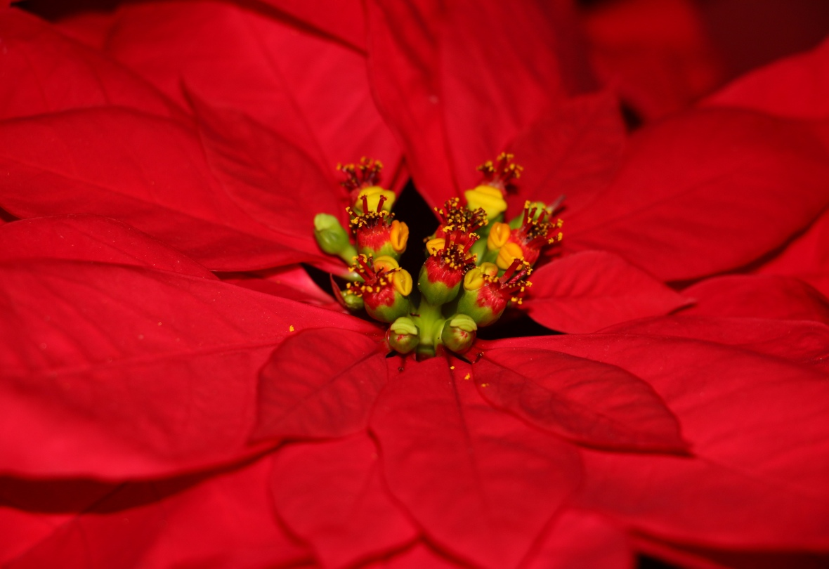 Center Of A Red Poinsettia