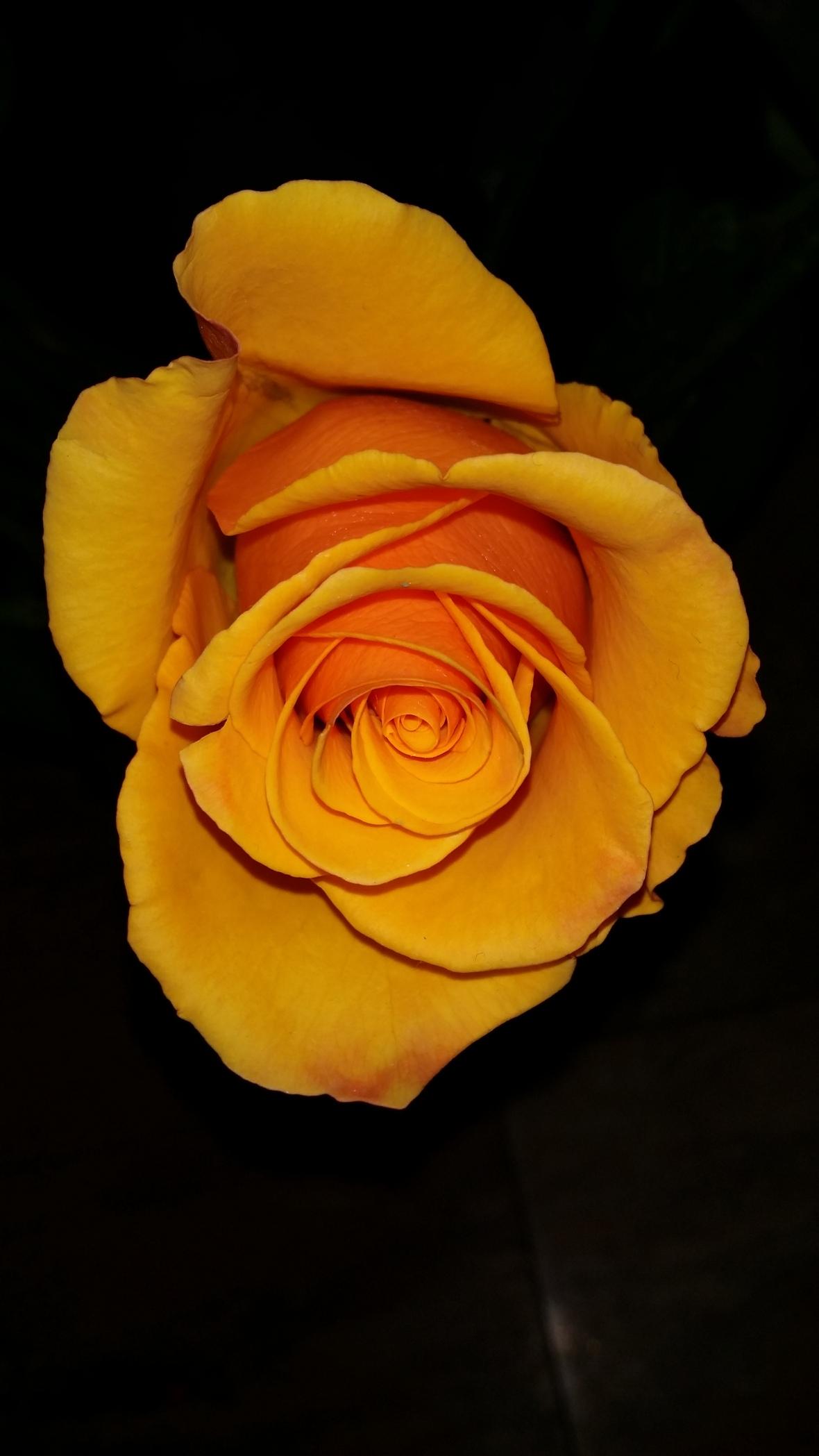 Golden Yellow Rose Black Background