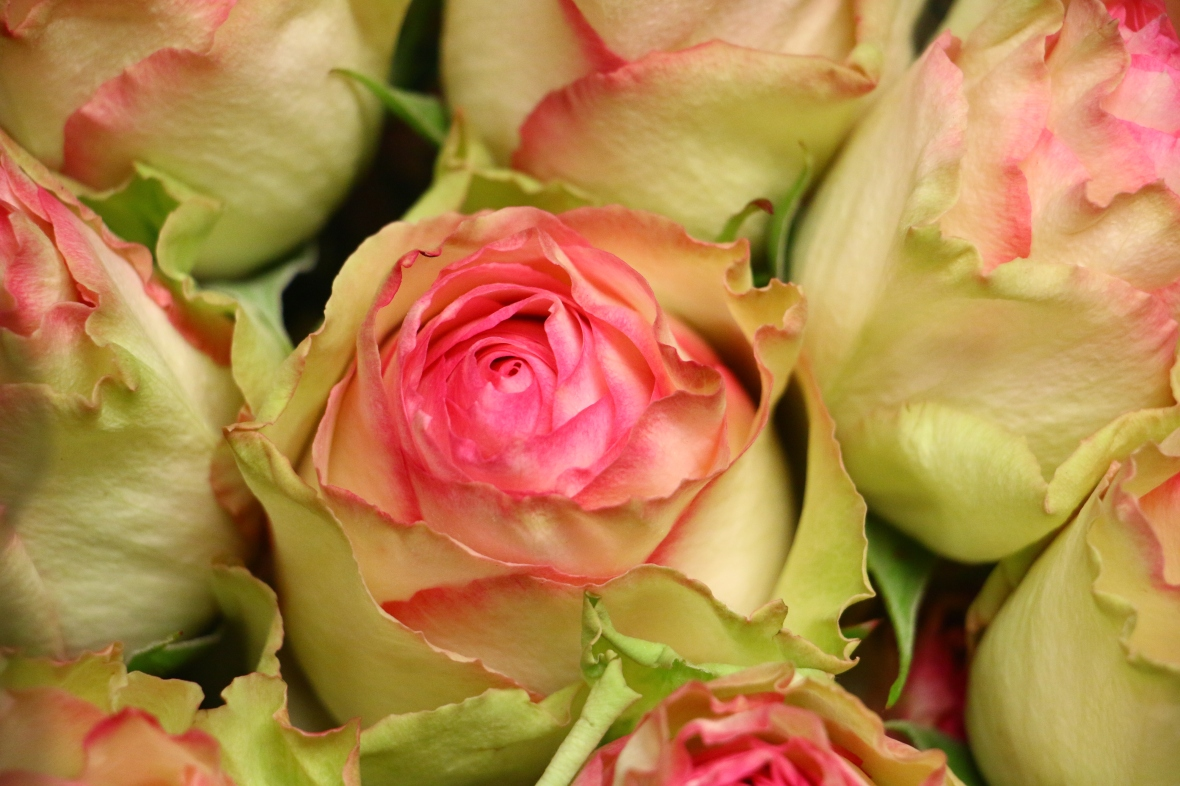 Pink & Green Roses