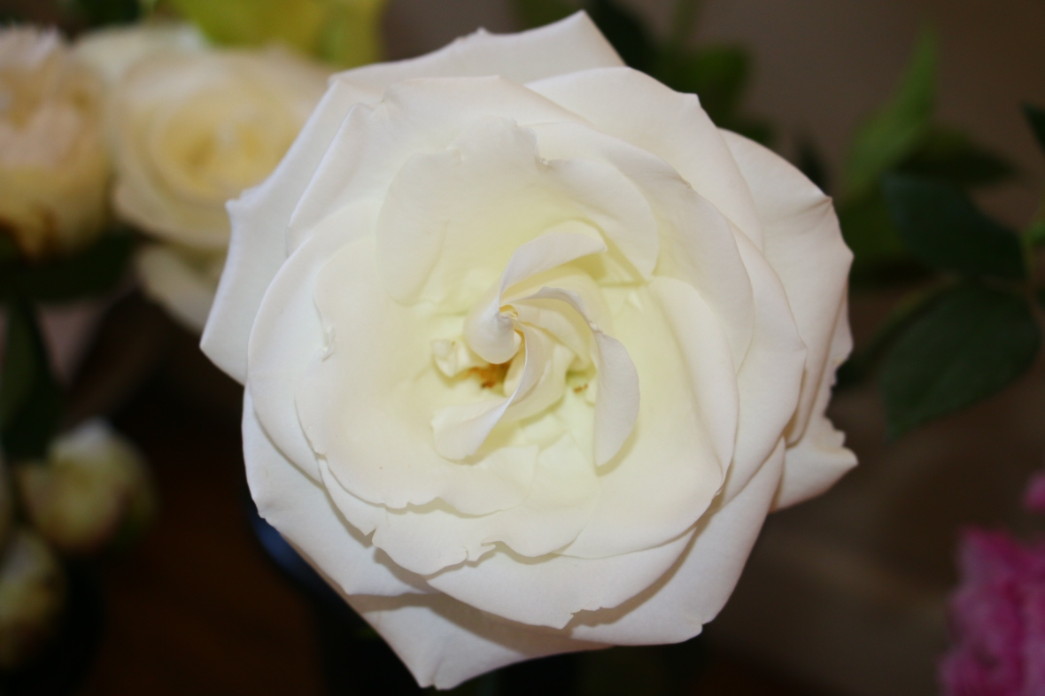 The Grand White Rose II