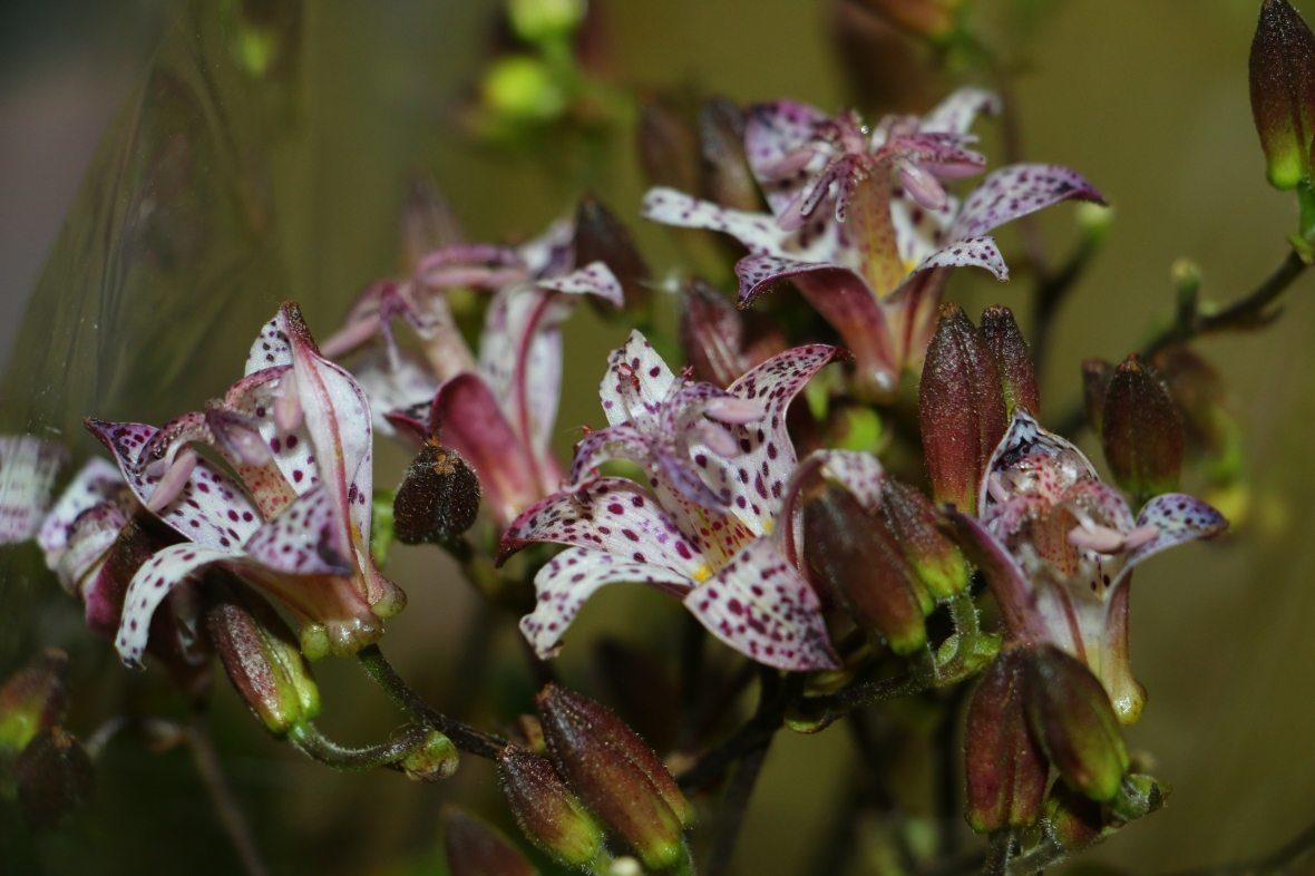 White & Purple Speckled Toad Lilies