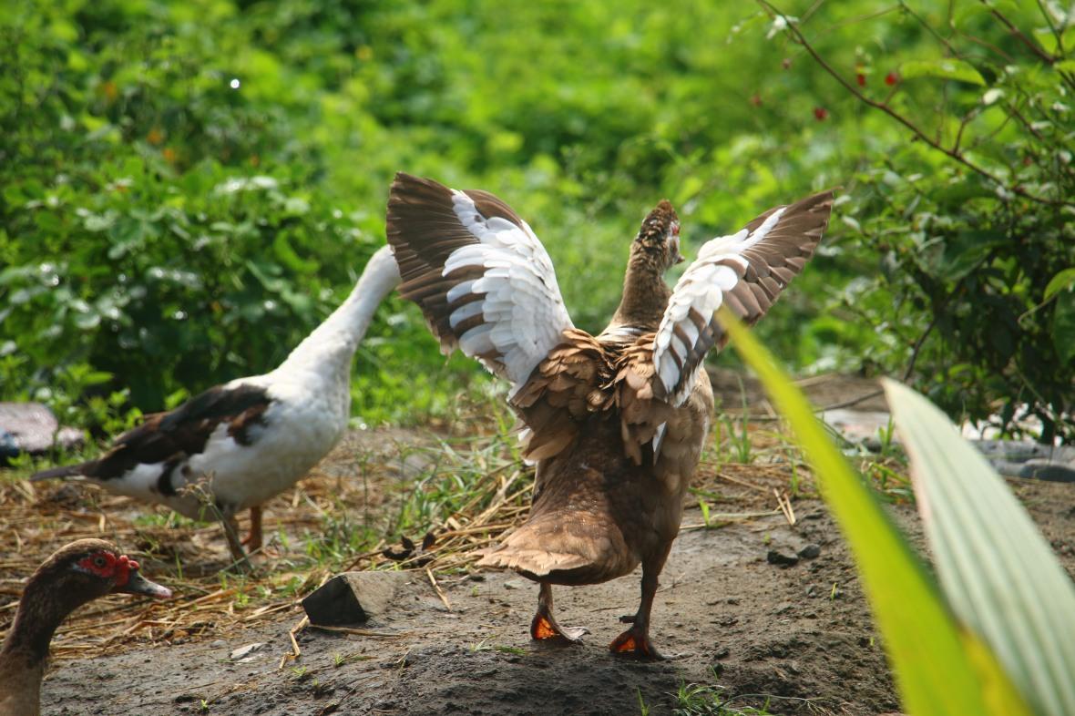 Ducks of Ecuador V