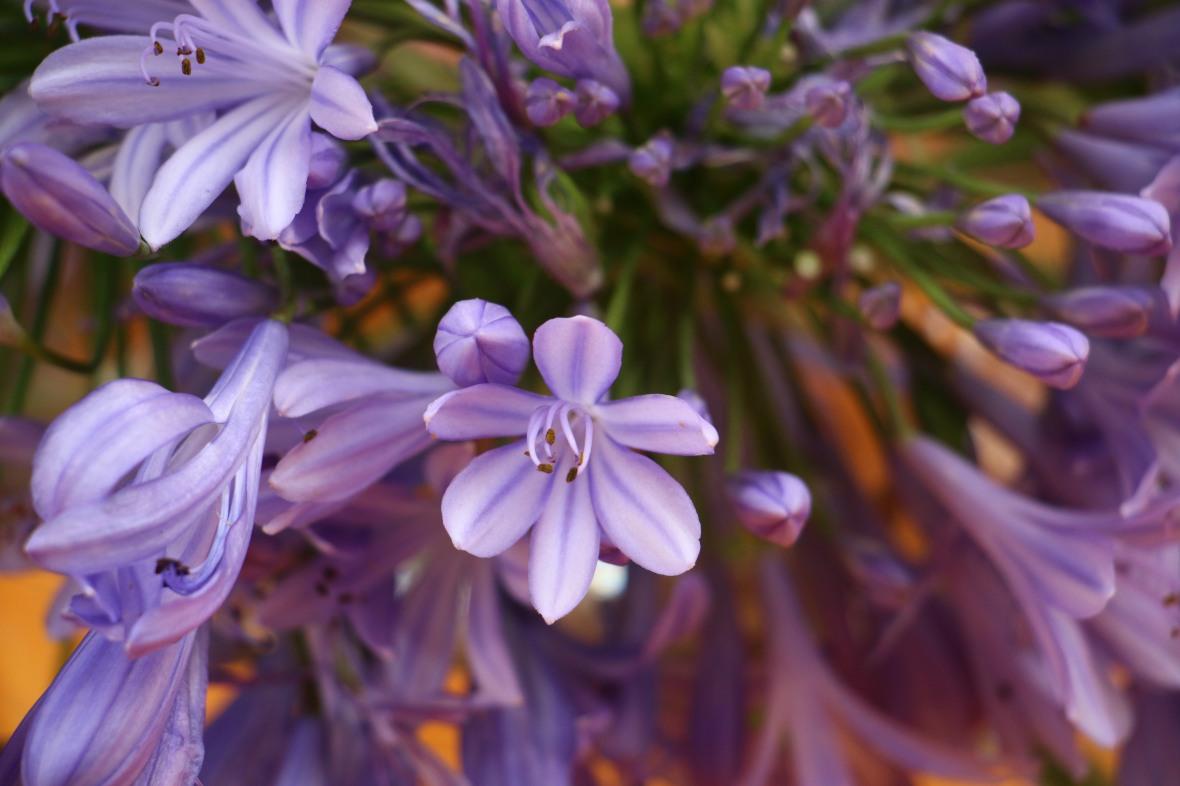 "Lavender Agapanthus ""3"""
