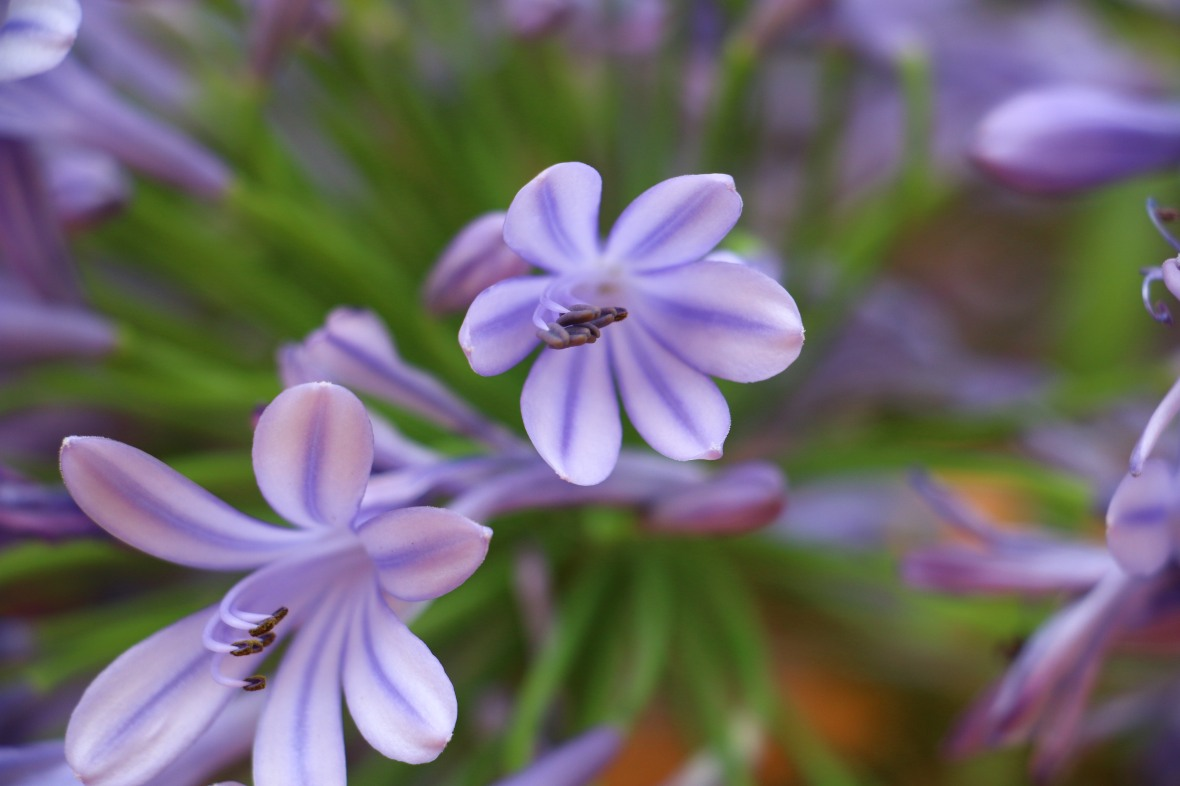 "Lavender Agapanthus ""2"""