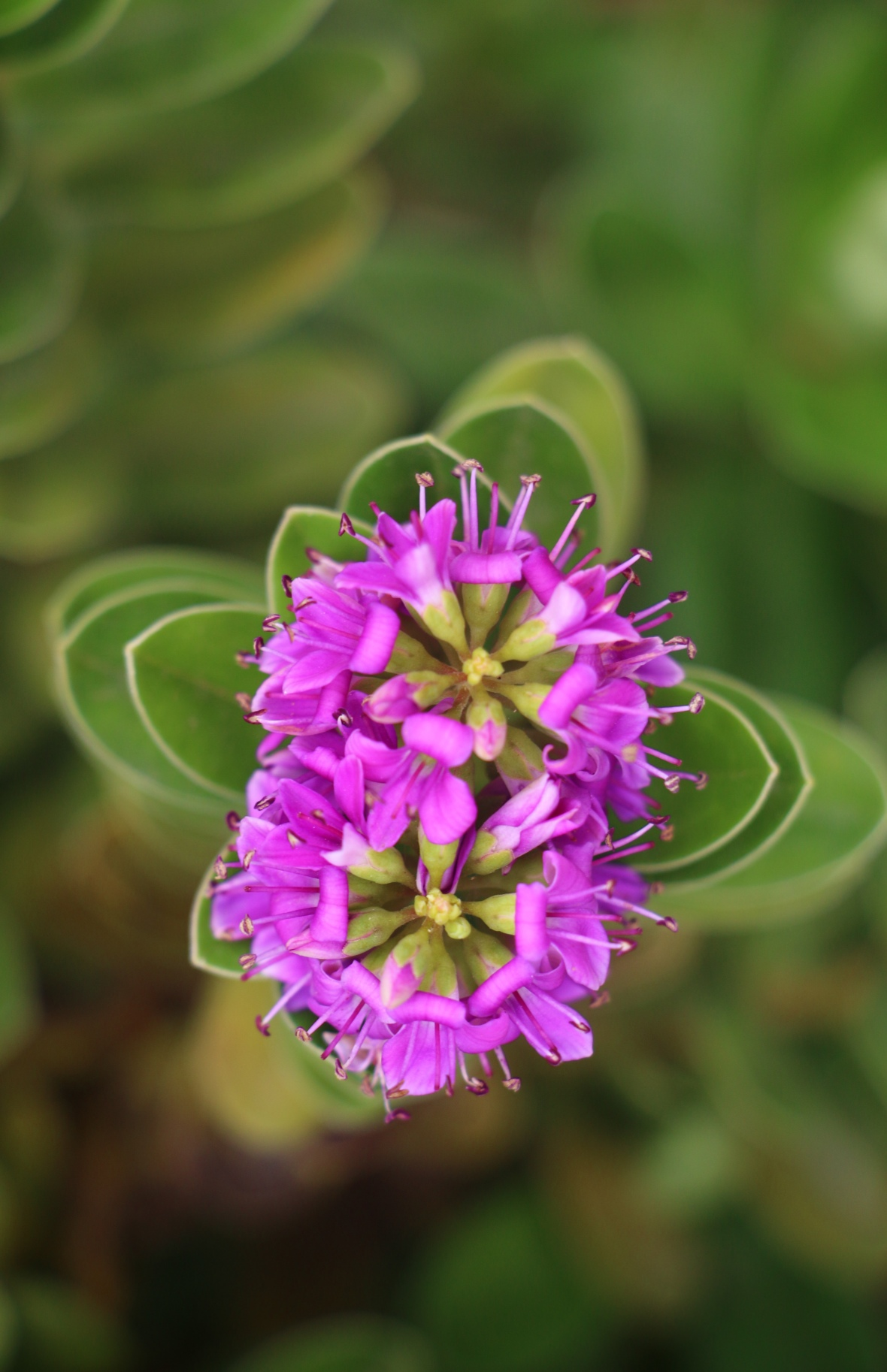 Purple Flowers of Chile II